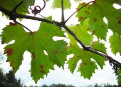 Мучнистая роса или милдью – правильный диагноз
