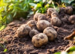 Потеть ему вредно: о сортировке и хранении картофеля