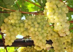 Виноград семьи Восторга
