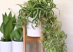 Хлорофитум – природный очиститель воздуха
