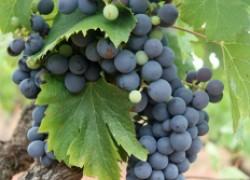 Пять секретов увеличения урожая винограда в два раза