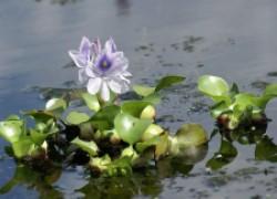 Эйхорния – водная красавица