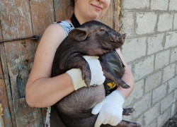 Стоит ли держать вьетнамских вислобрюхих свиней
