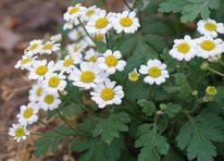 Матрикария, пиретрум, хризантема девичья – три названия одного растения