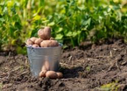 Почему много уродливого картофеля