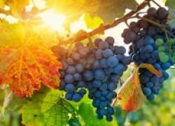 Винограду требуется тепло