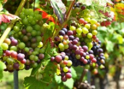 Виноград: дайте ему вызреть