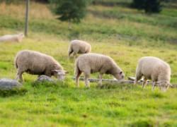 За разведение скота с нас требуют дань, или Местная безнаказанность