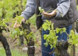 Не спешите обрезать виноград