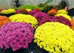 Что такое хризантема-мультифлора