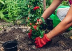 Как сохранить саженцы роз до весны