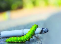 Бражник пристрастился к никотину