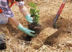 Саженцы в ряд: о восстановлении корней