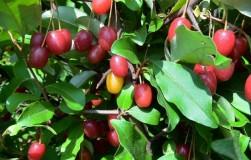 Интересное дерево гумми: без него сейчас никуда