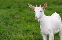Стих про козу