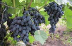 Неприхотливые сорта винограда для новичков