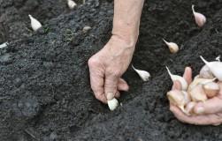Для лучшего урожая сажаем под зиму