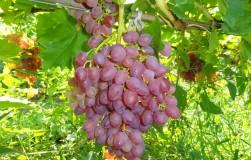 9 сортов винограда, с которыми придется понянчиться