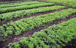 Сидераты для картофеля сажаем осенью