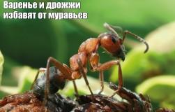 Избавилась от муравьев с помощью варенья и дрожжей