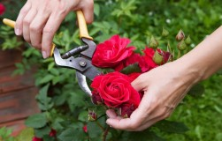 Что делать с розой, когда она отцветет?