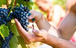 Особенности выращивания винограда в средней полосе