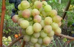 5 лучших новинок 5винограда для соков и вина