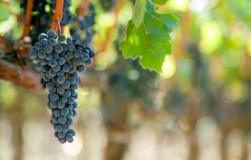 Выращиваю виноград без полива