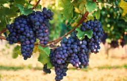 Все секреты виноградных почек
