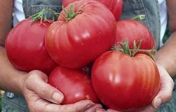 Особые напитки для крупных помидоров