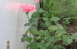 В прошлом году я удачно начеренковала розы