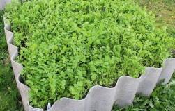 Что посеять после картофеля