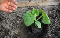 Ослепляю огурцы для урожая