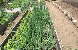 Выращивание лука спасло нам жизнь
