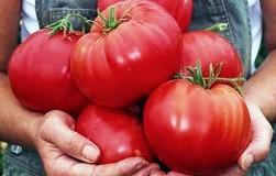 Суперпрепарат для увеличения размеров помидоров