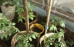 Повышай урожай – помидоры в ведро сажай