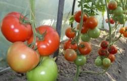 Кормлю огурцы и помидоры... куриным пометом