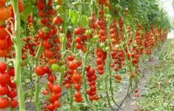 Зачем нужно удалять листья на помидорах