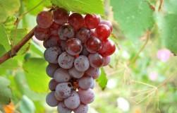 Виноград зацвел второй раз. Что это значит?