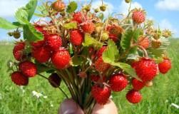 Время сажать землянику – главные особенности посадки