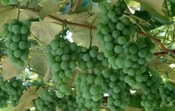 Не спеет виноград