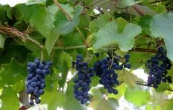 Как сохранить амурский виноград? Вымерзает!
