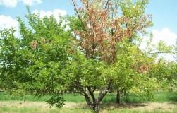 Как вылечить деревья?
