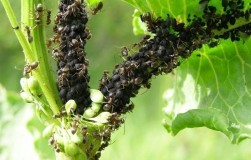 Сода и сахарная пудра — новое средство в борьбе с муравьями
