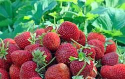 Накормите клубнику и она даст вам фантастический урожай