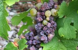 Почему вянут ягоды у винограда