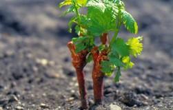 Укоренился виноград в прикопе. Что дальше?
