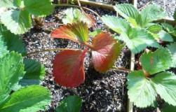 Побурели листья земляники – что это и как бороться?