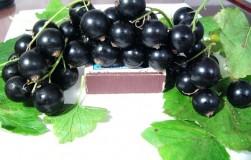 Простые секреты получения крупных ягод смородины