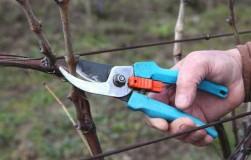 5 типичных ошибок при обрезке лозы винограда